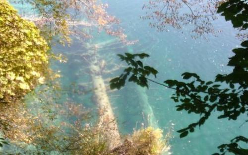 Vízbe dőlt fenyőtörzsek