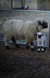 Újszülött feketeorrú kisbárány a Debreceni Állatkertben