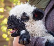 Feketeorrú barika született a Debreceni Állatkertben